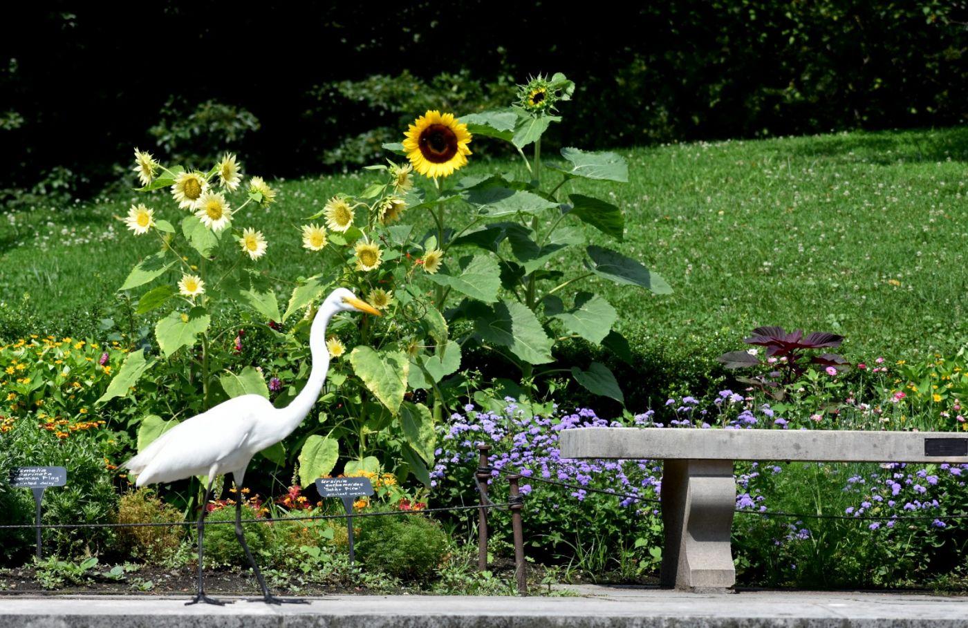 白鹭来花园赏花_图1-24