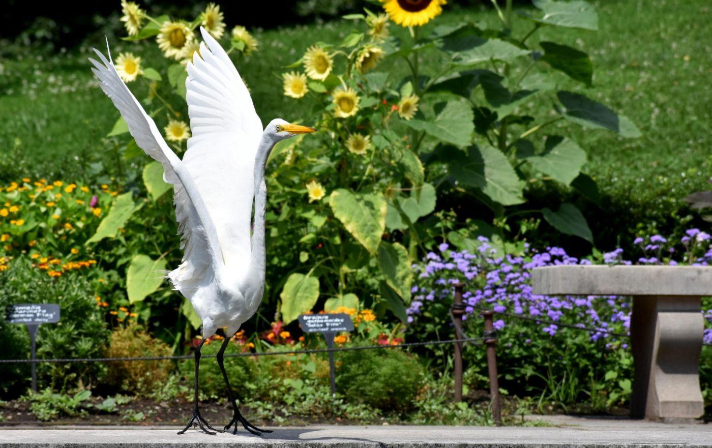 白鹭来花园赏花_图1-25