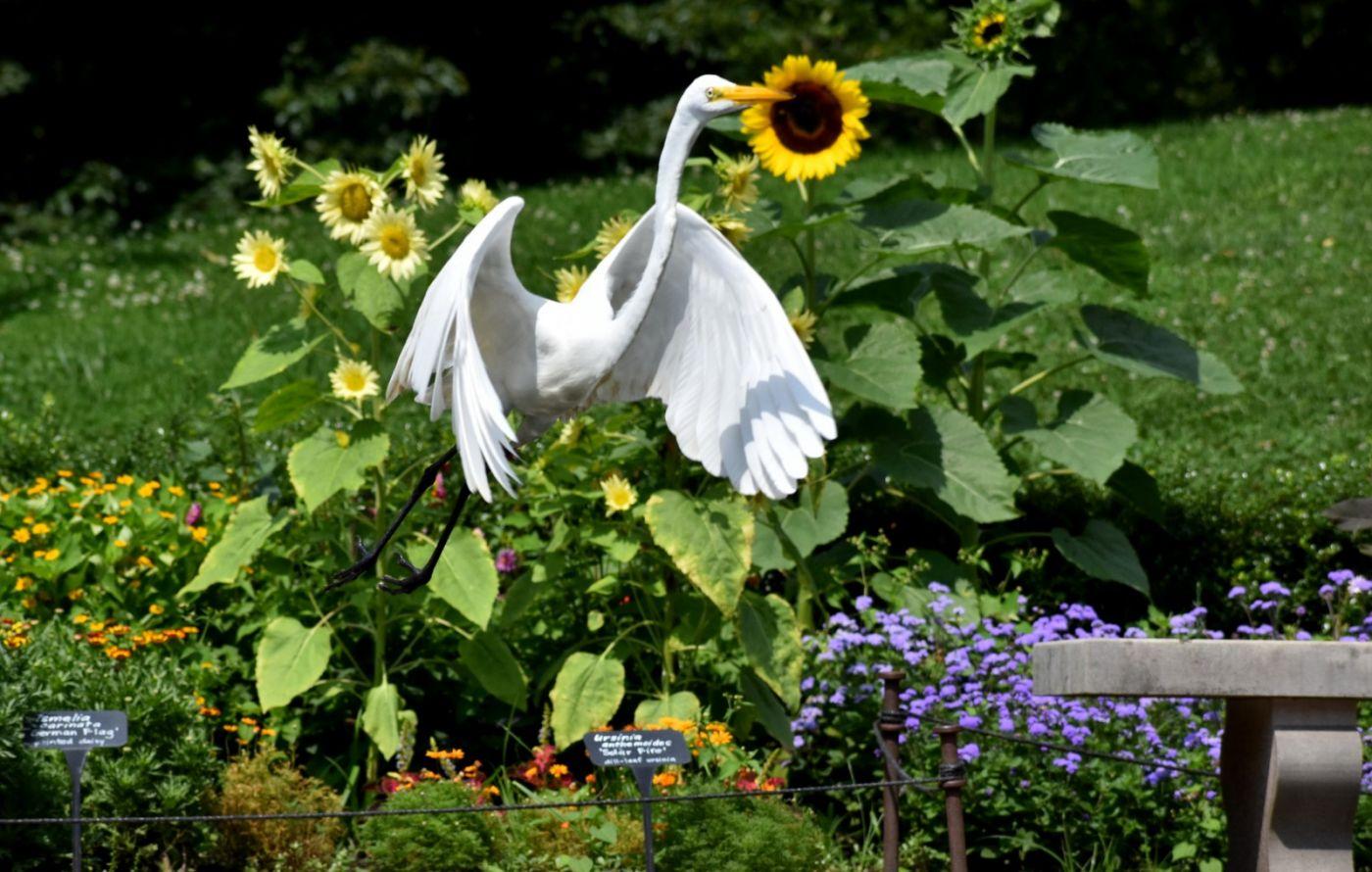 白鹭来花园赏花_图1-26