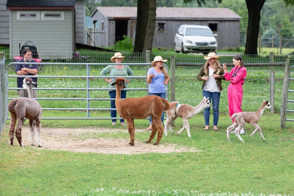 箭头英亩农场看羊驼_图1-4
