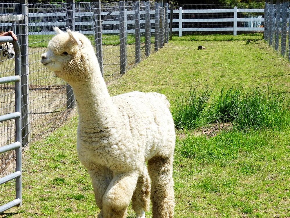 箭头英亩农场看羊驼_图1-8