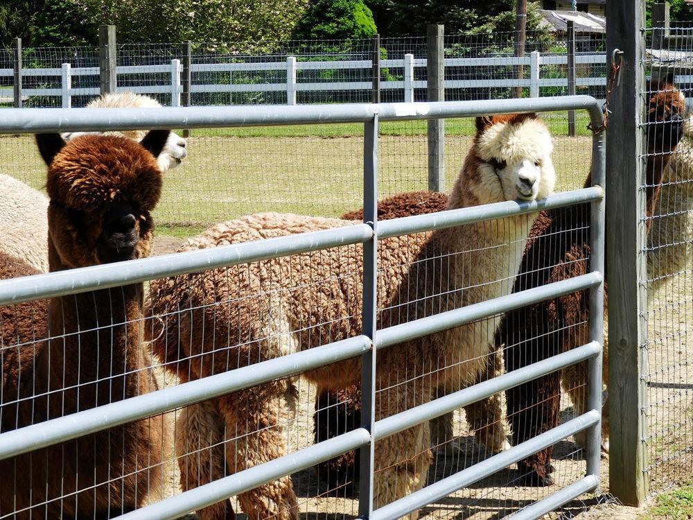 箭头英亩农场看羊驼_图1-9
