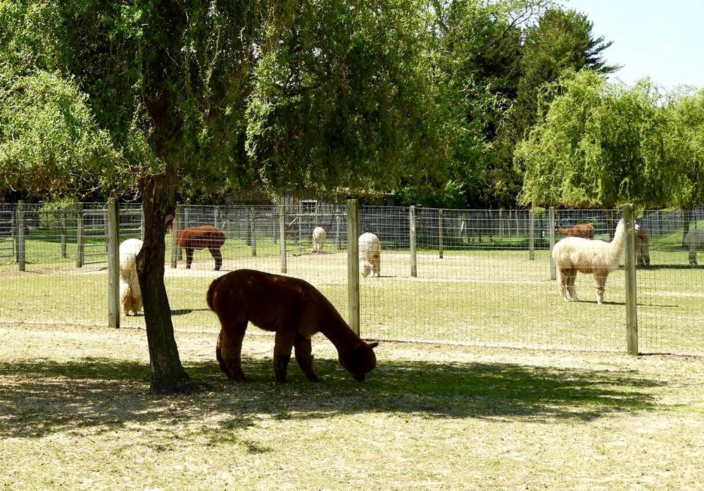 箭头英亩农场看羊驼_图1-10