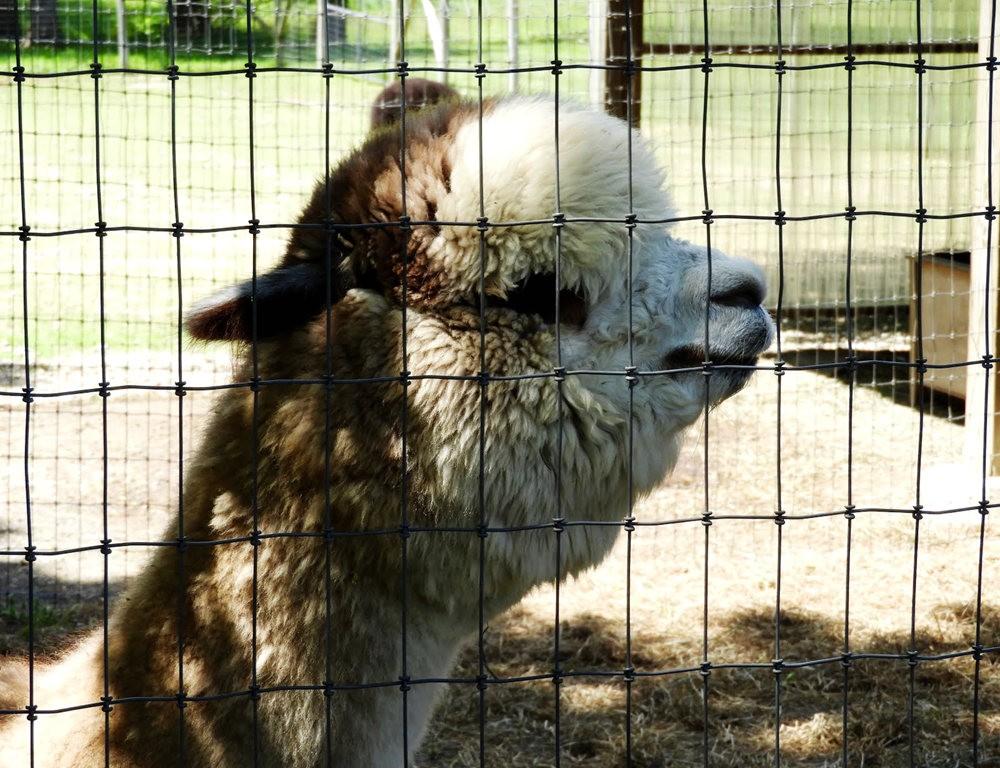 箭头英亩农场看羊驼_图1-16