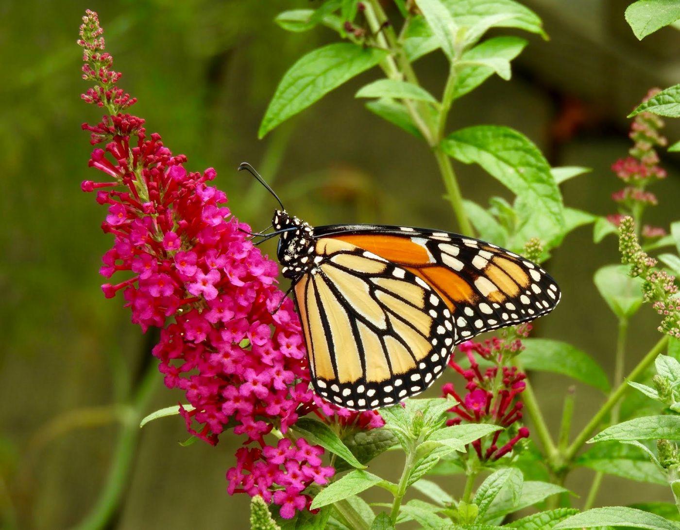赫尔希花园看蝴蝶_图1-16