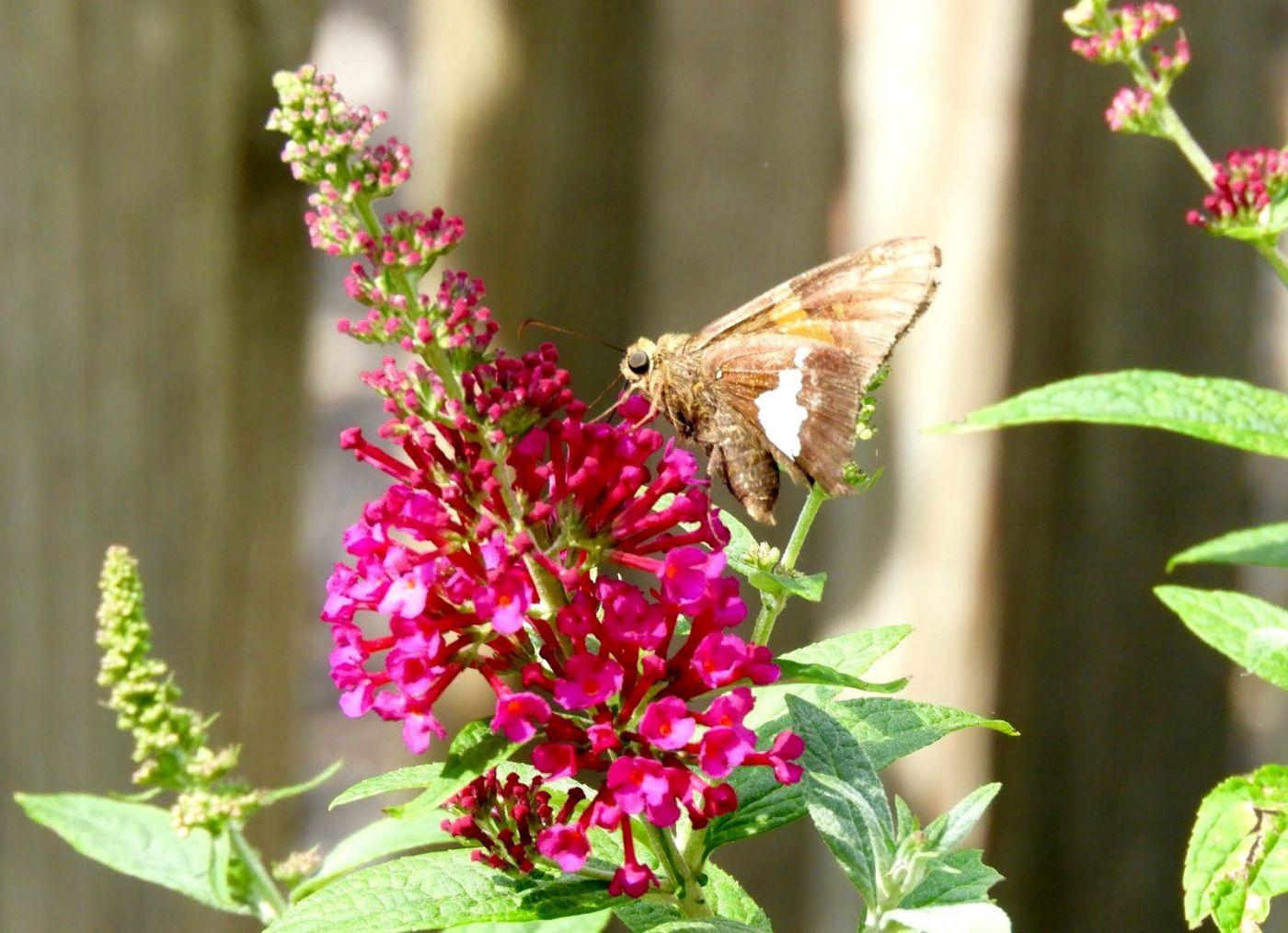 赫尔希花园看蝴蝶_图1-26
