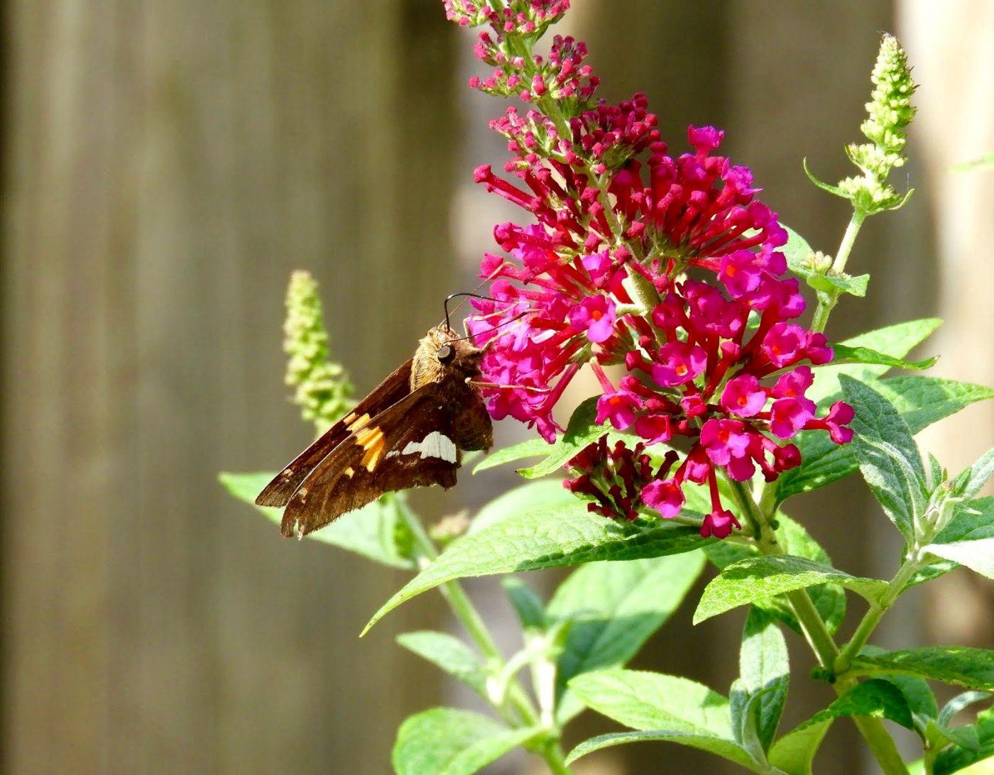 赫尔希花园看蝴蝶_图1-27