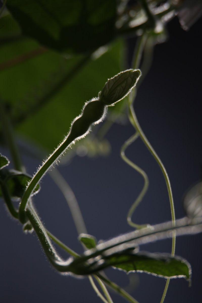 葫芦花花几回开,葫芦瓜瓜长出来_图1-4