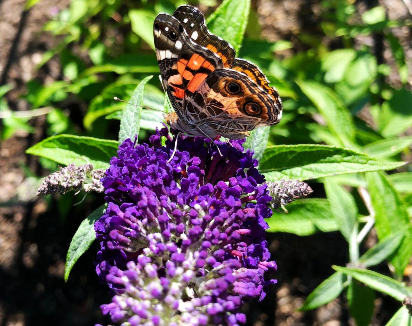 7月的蜜蜂.蝴蝶_图1-5