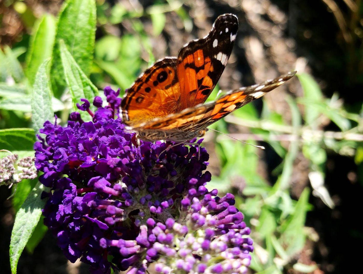 7月的蜜蜂.蝴蝶_图1-6