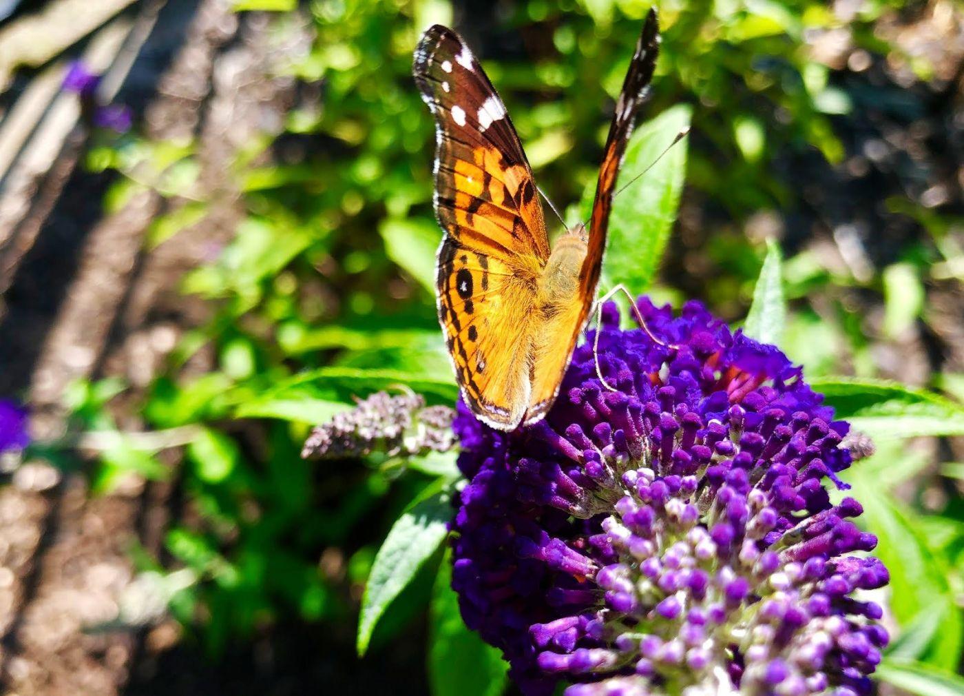 7月的蜜蜂.蝴蝶_图1-8