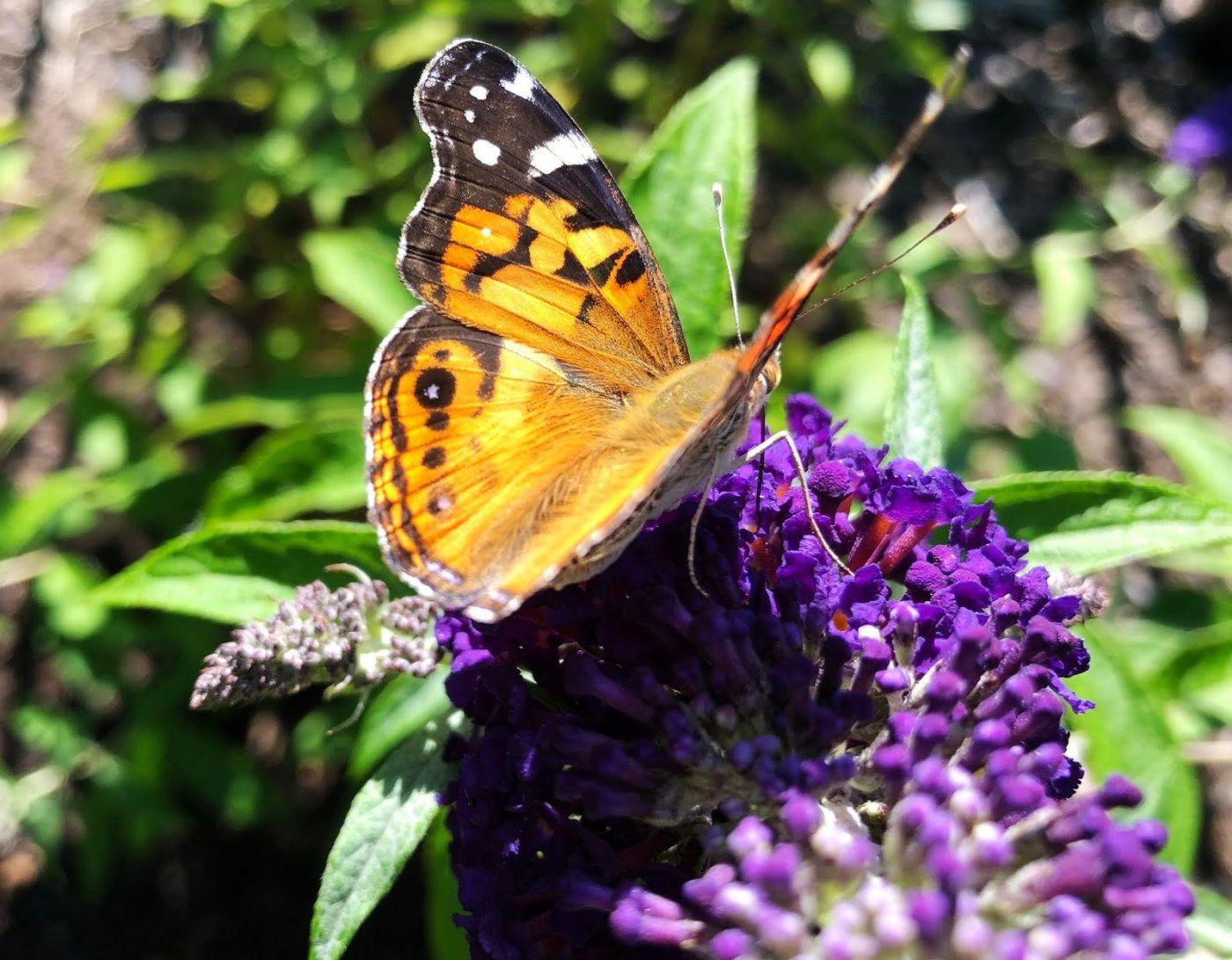 7月的蜜蜂.蝴蝶_图1-9