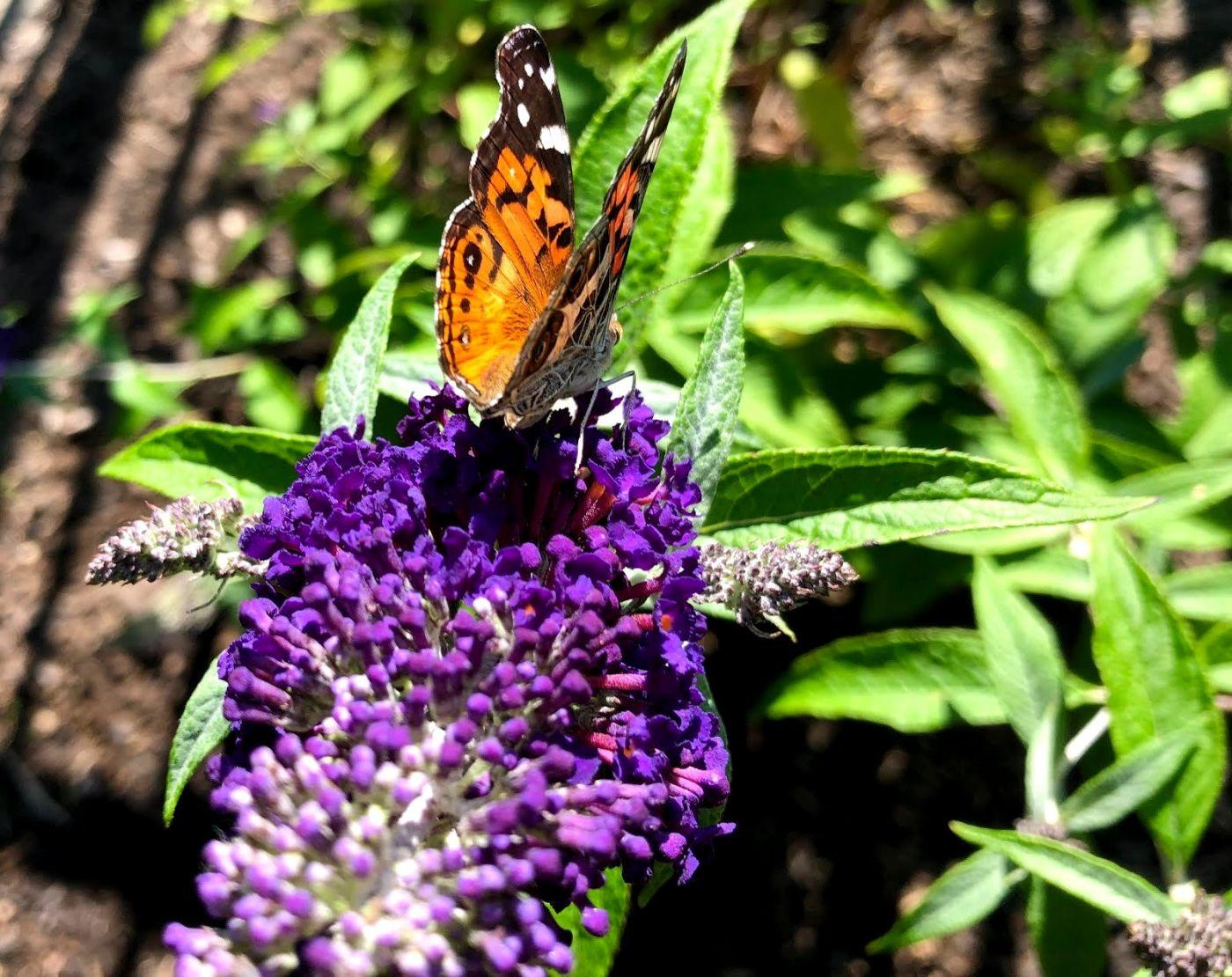 7月的蜜蜂.蝴蝶_图1-10