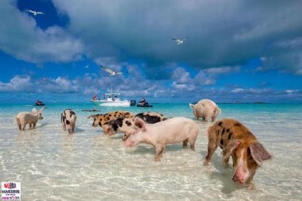 高娓娓:美国人度假喜欢以猪为伍?奇趣巴哈马,全球唯一被猪占领的岛,禁止人类居住 ..._图1-1