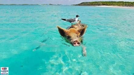 高娓娓:美国人度假喜欢以猪为伍?奇趣巴哈马,全球唯一被猪占领的岛,禁止人类居住 ..._图1-9