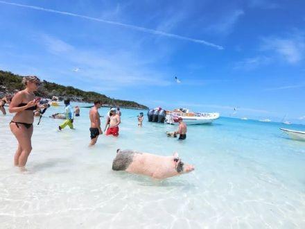高娓娓:美国人度假喜欢以猪为伍?奇趣巴哈马,全球唯一被猪占领的岛,禁止人类居住 ..._图1-11