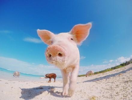 高娓娓:美国人度假喜欢以猪为伍?奇趣巴哈马,全球唯一被猪占领的岛,禁止人类居住 ..._图1-16