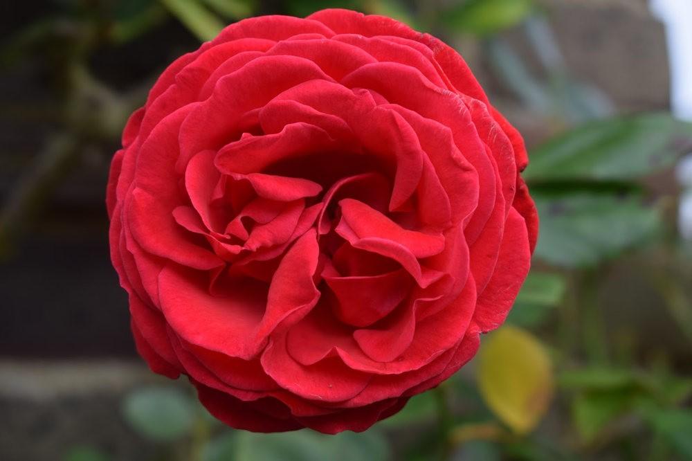 玫瑰是花中皇后_图1-1
