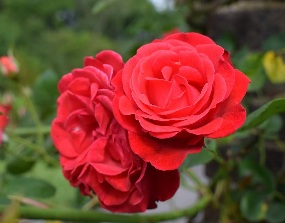 玫瑰是花中皇后_图1-2