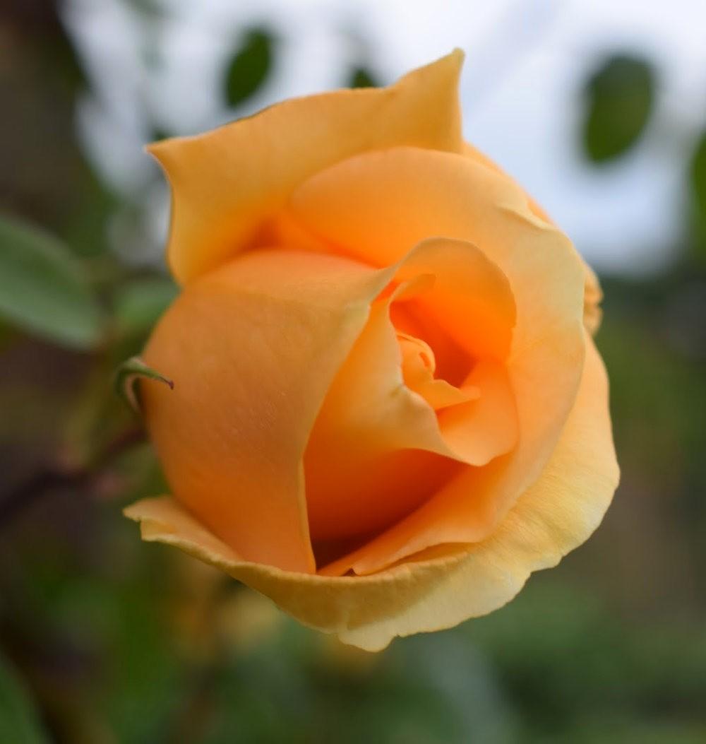 玫瑰是花中皇后_图1-4