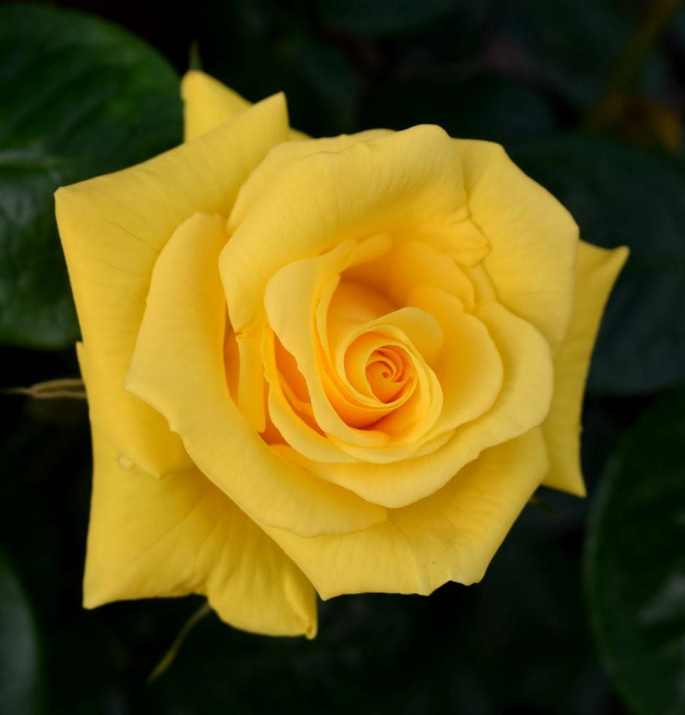 玫瑰是花中皇后_图1-6