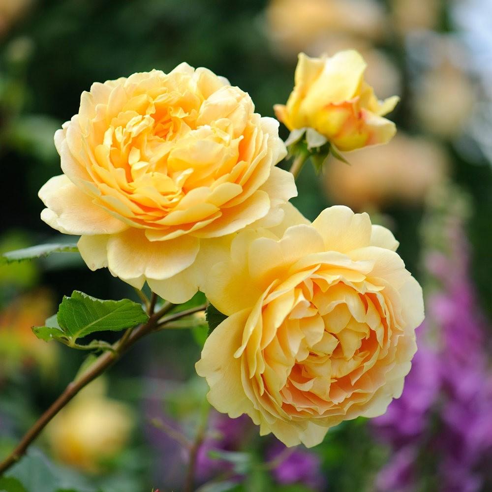 玫瑰是花中皇后_图1-8