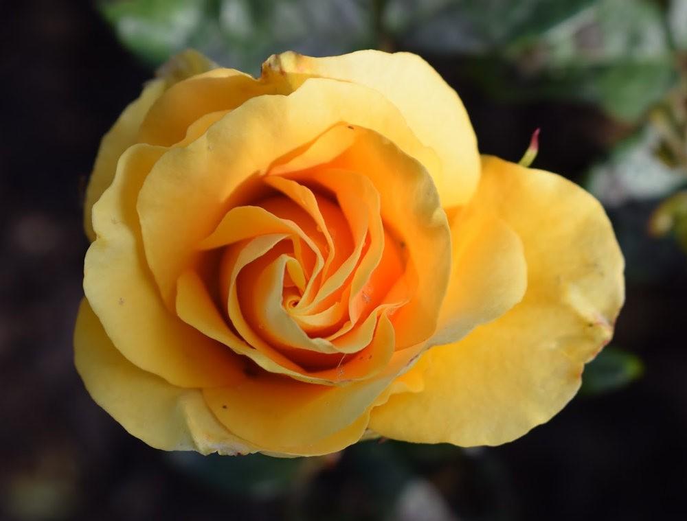 玫瑰是花中皇后_图1-9