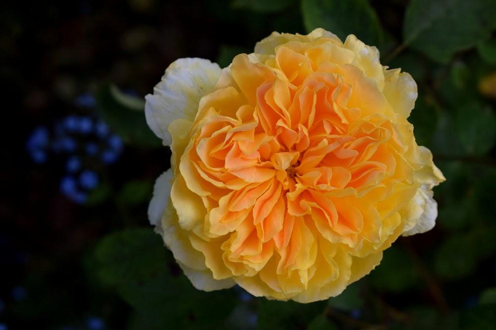 玫瑰是花中皇后_图1-10