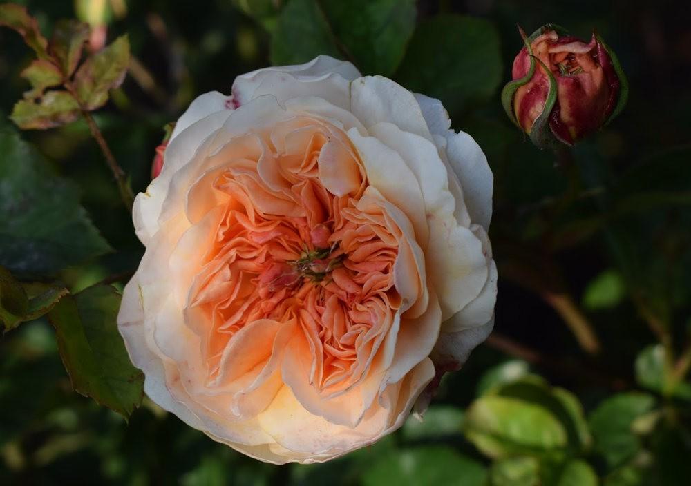 玫瑰是花中皇后_图1-12