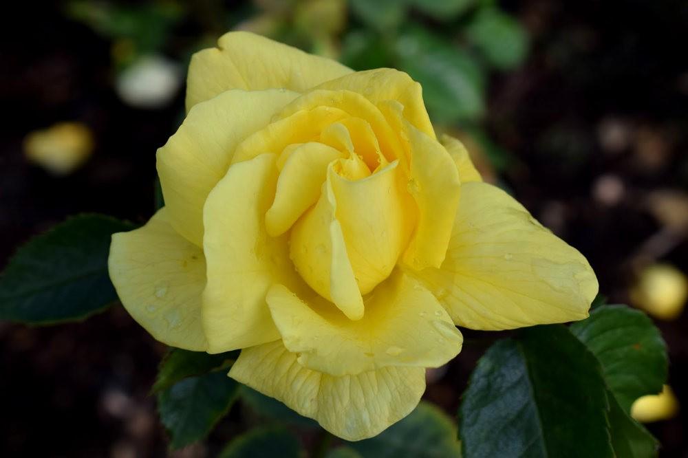 玫瑰是花中皇后_图1-13