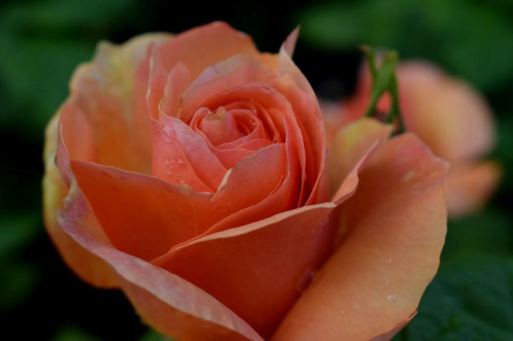 玫瑰是花中皇后_图1-15