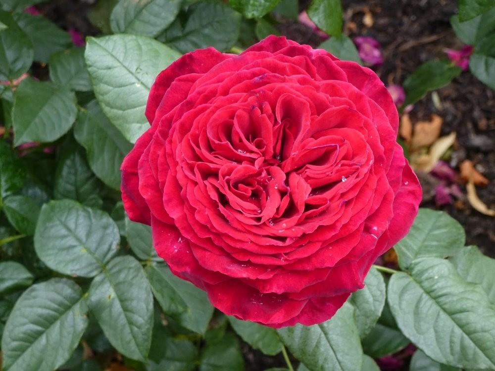 玫瑰是花中皇后_图1-16