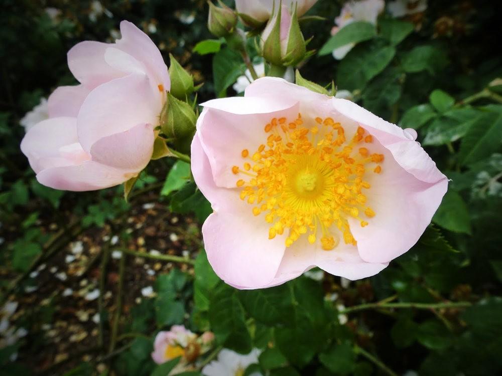 玫瑰是花中皇后_图1-17