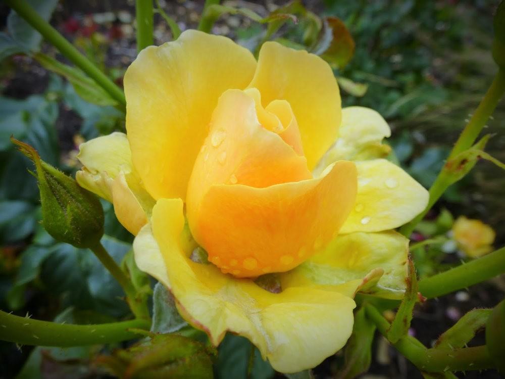 玫瑰是花中皇后_图1-18