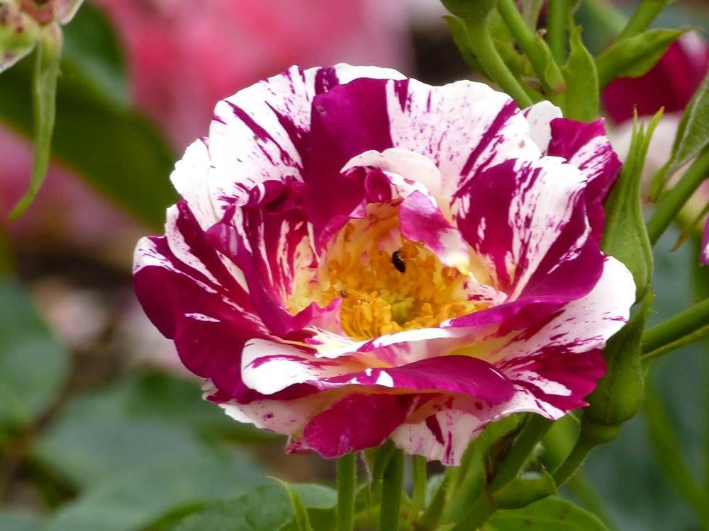 玫瑰是花中皇后_图1-19