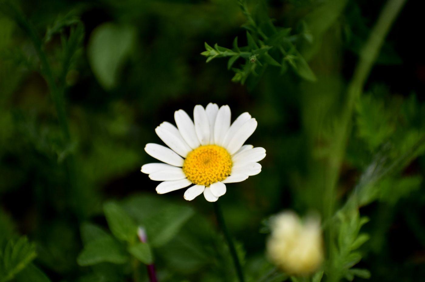 春黄菊_图1-7