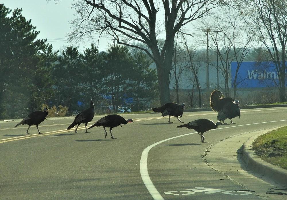 威斯康申州购物中心遇到火鸡_图1-11