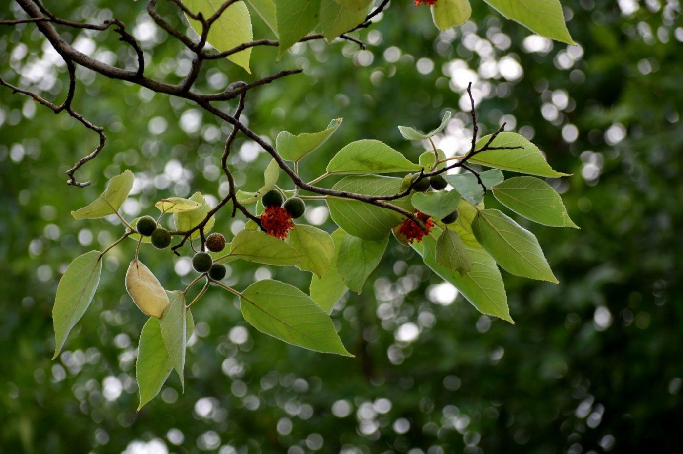 浑身是宝--构树_图1-23
