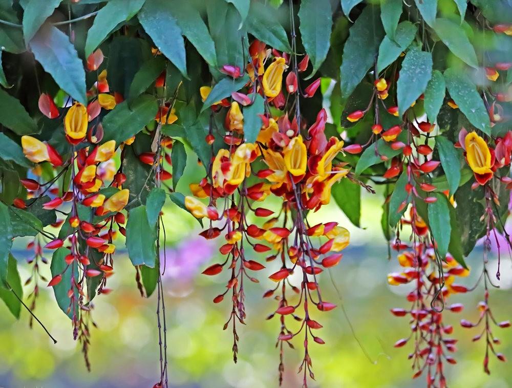 班加罗尔植物园--看花观鸟_图1-26
