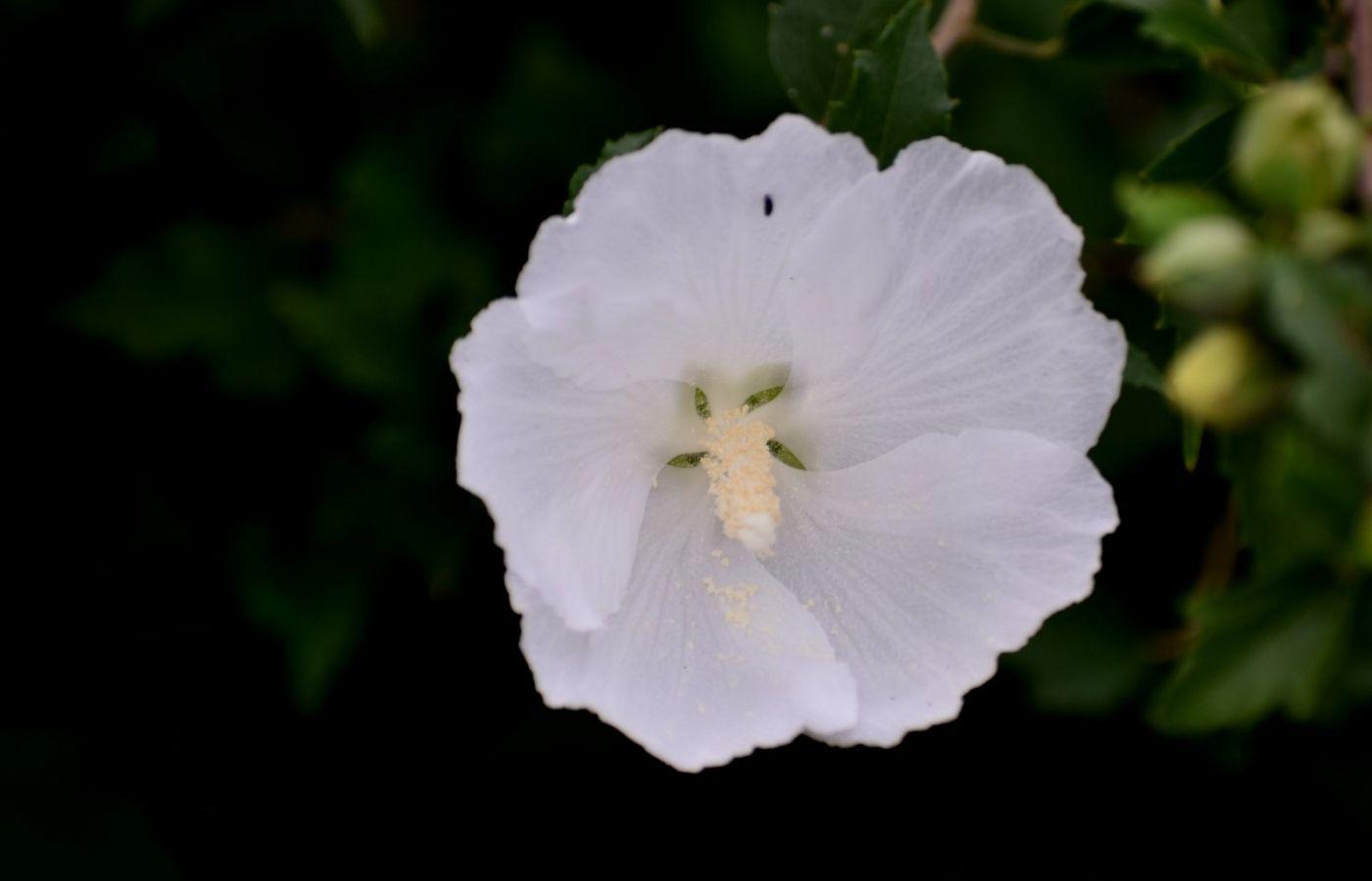 白花木槿_图1-4