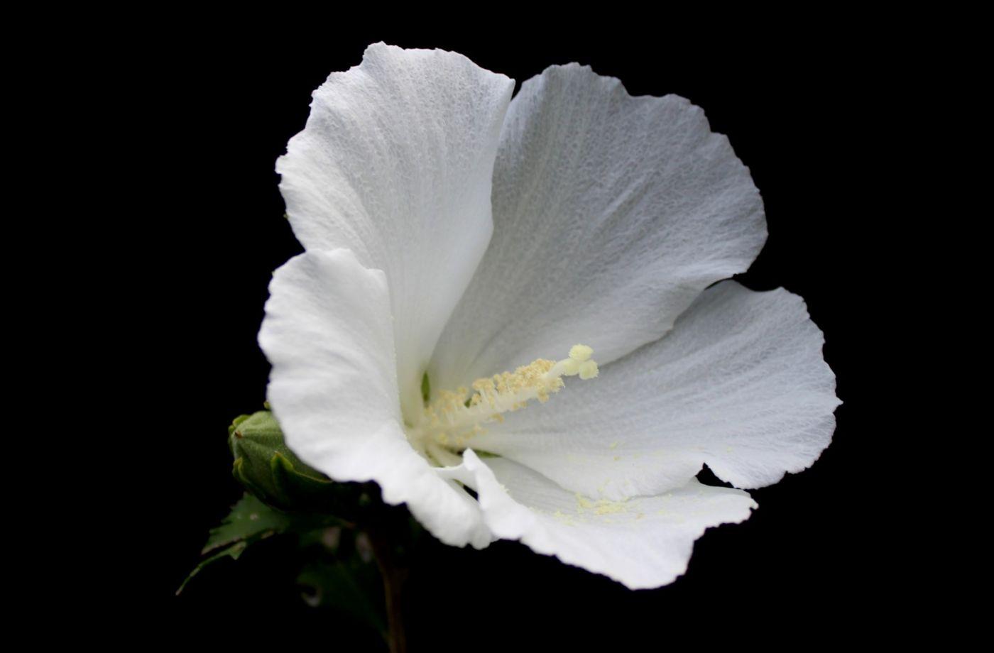 白花木槿_图1-6