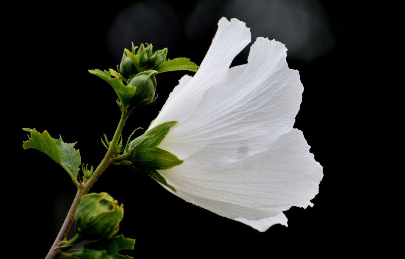 白花木槿_图1-8