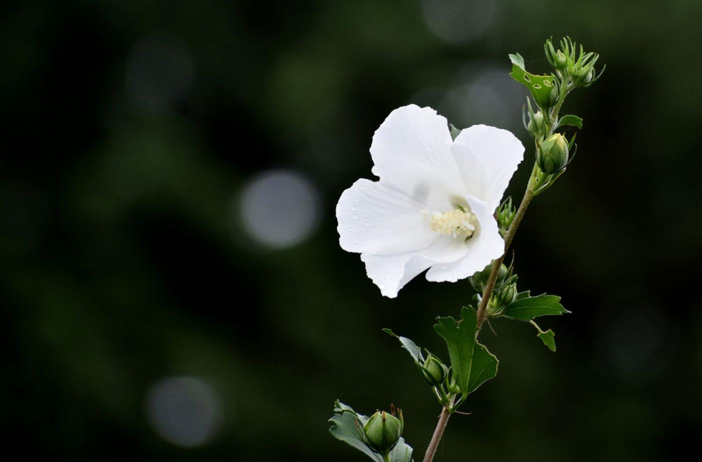 白花木槿_图1-11