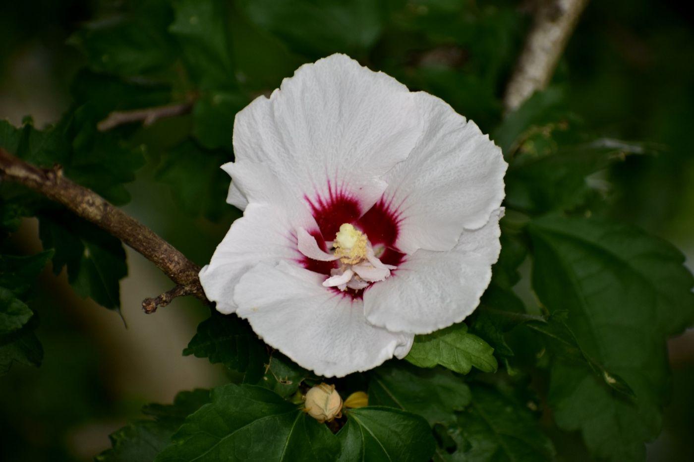 白花木槿_图1-15