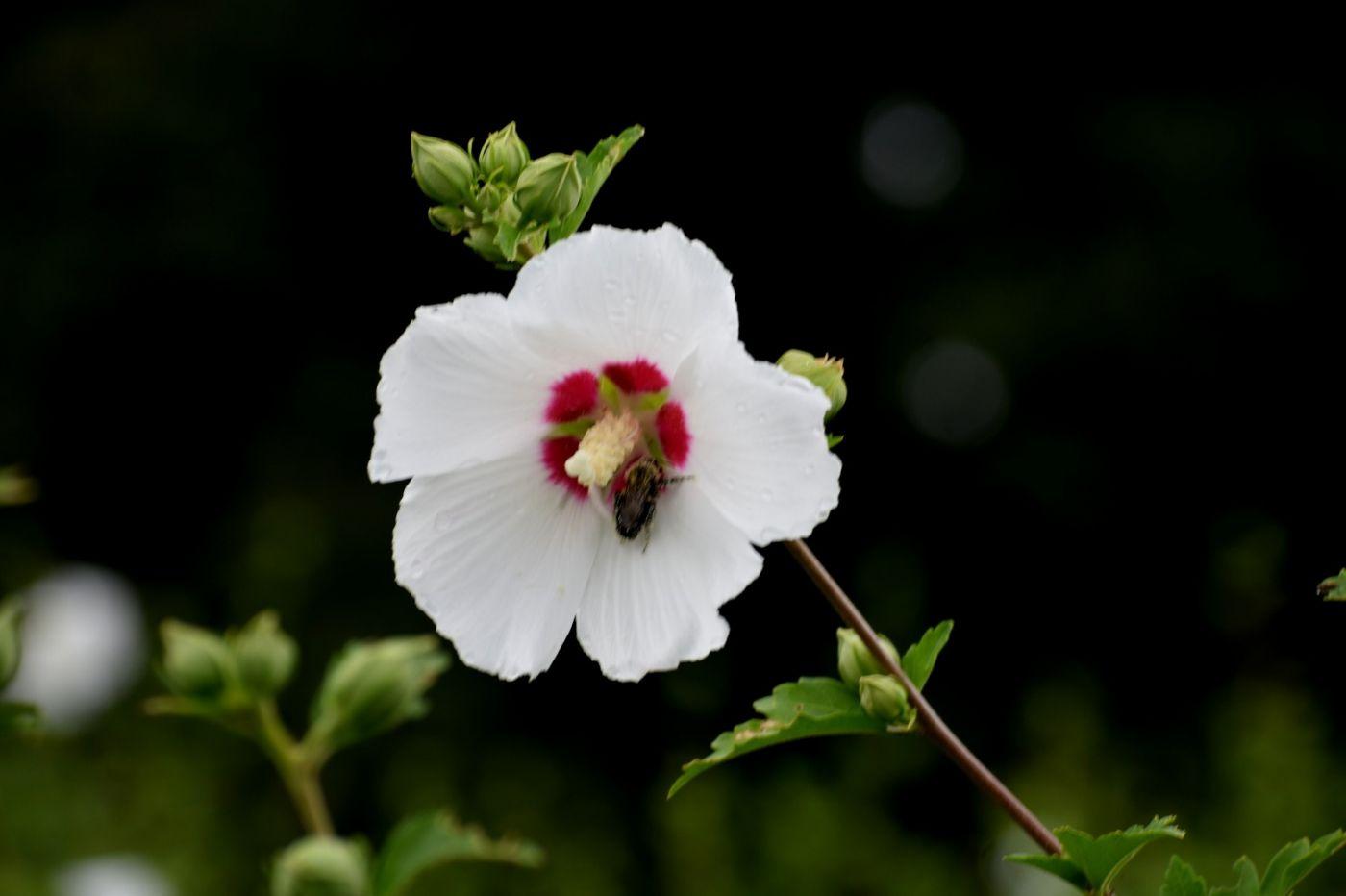 白花木槿_图1-17