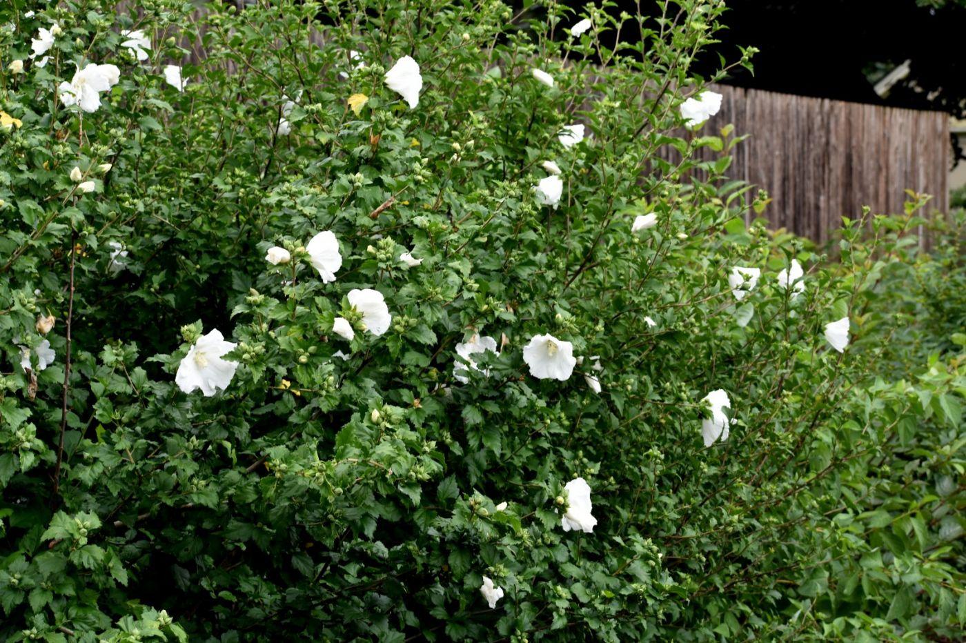 白花木槿_图1-20