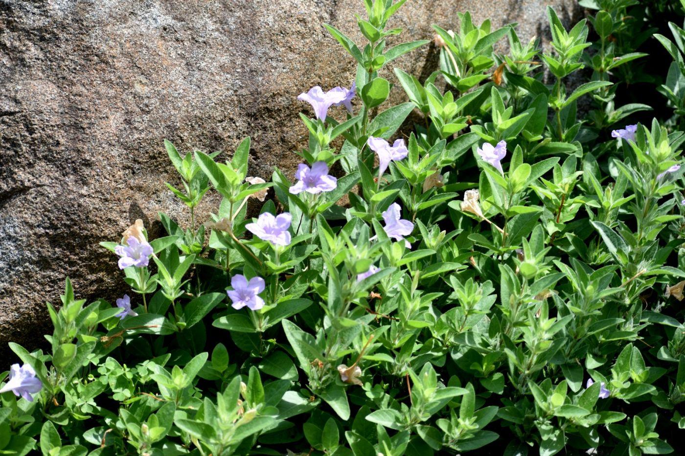 翠芦莉和蔓性芦莉_图1-22