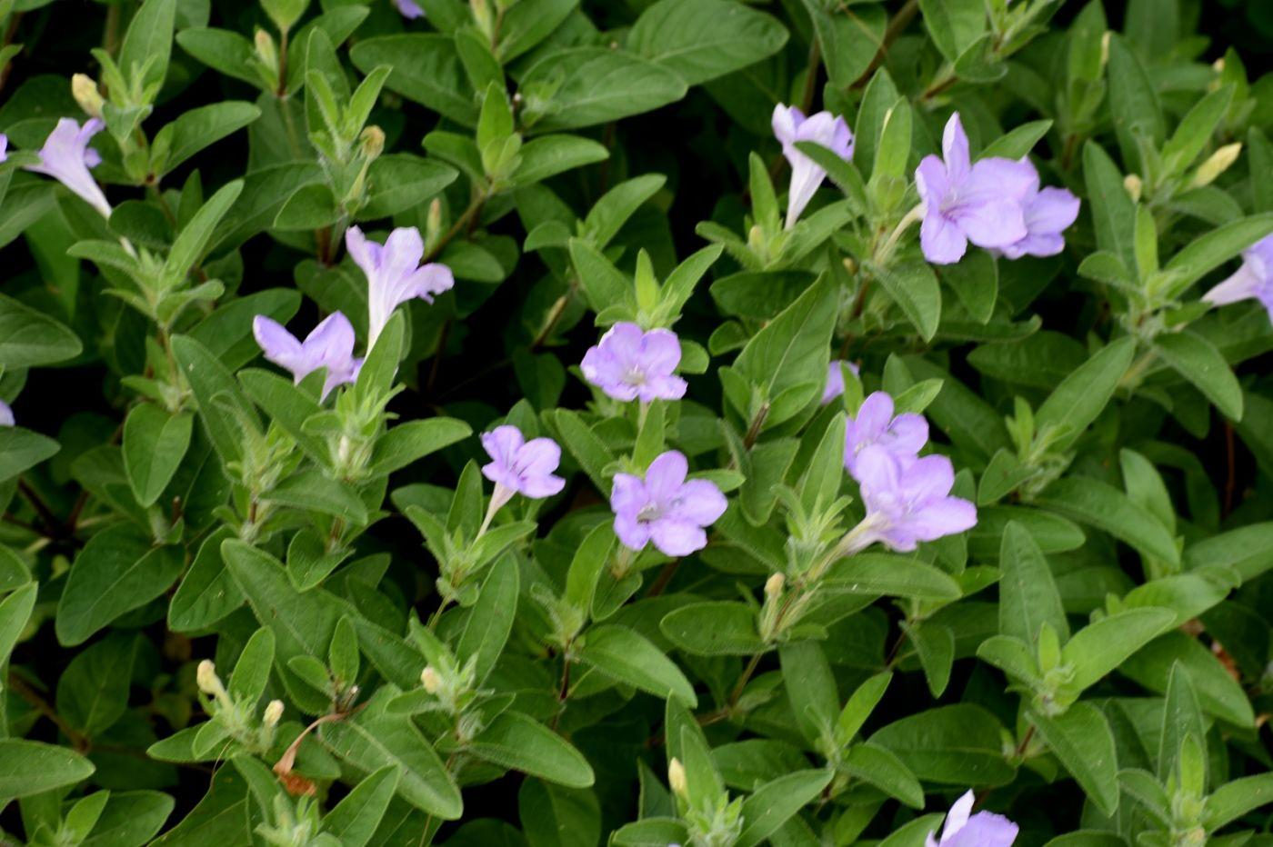 翠芦莉和蔓性芦莉_图1-23