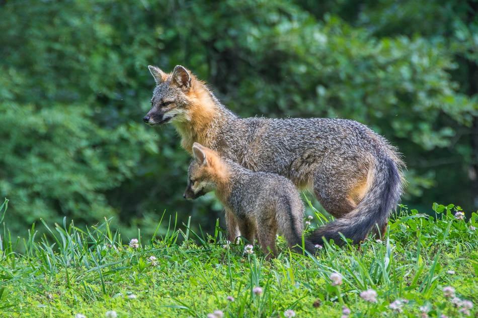 后院常客之----狐狸一家亲_图1-3