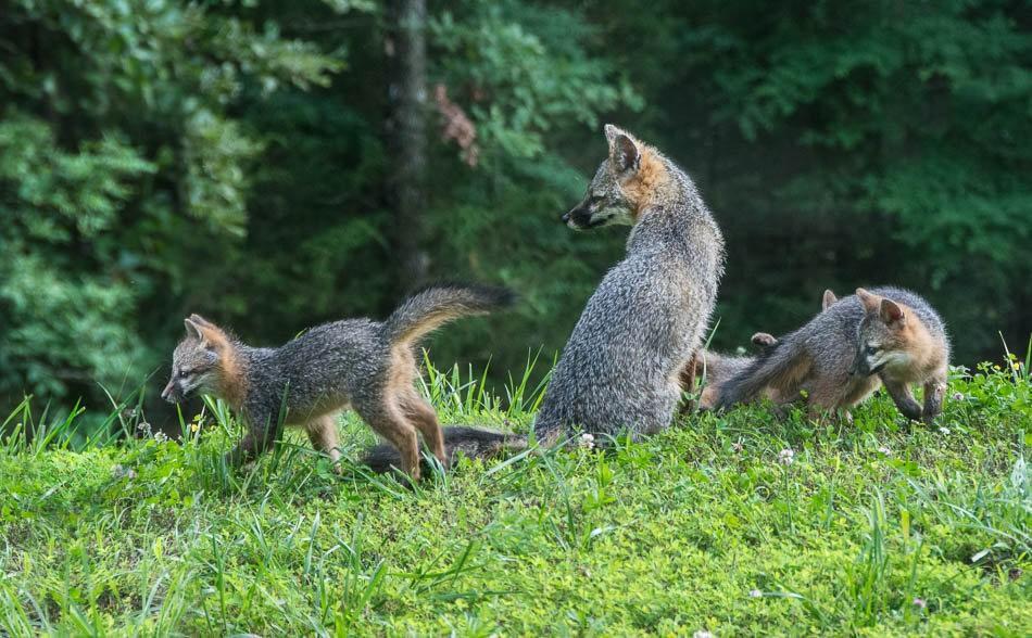 后院常客之----狐狸一家亲_图1-6